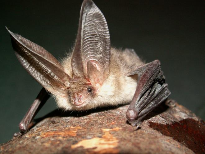 Northern Long-Eared Bat Status to be Revisited